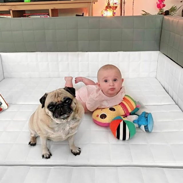 How cute is this!? Even the pug wants to get cozy & enjoy our Soft Play Pen! #moonkidsinaction
